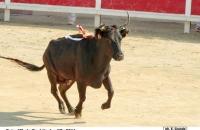 Gaïa, Manade Chaballier, vache d'Or 2011. © E Grande