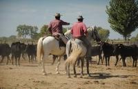 Tri du bétail en pays