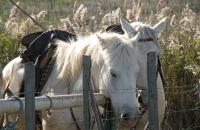 Les chevaux à la sieste