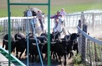 Arrivée des taureaux au toril